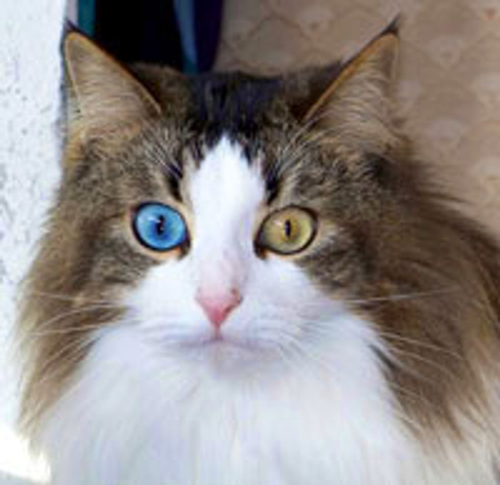 Beautiful Odd-eyed Cat Rescued from Car, Found Hope