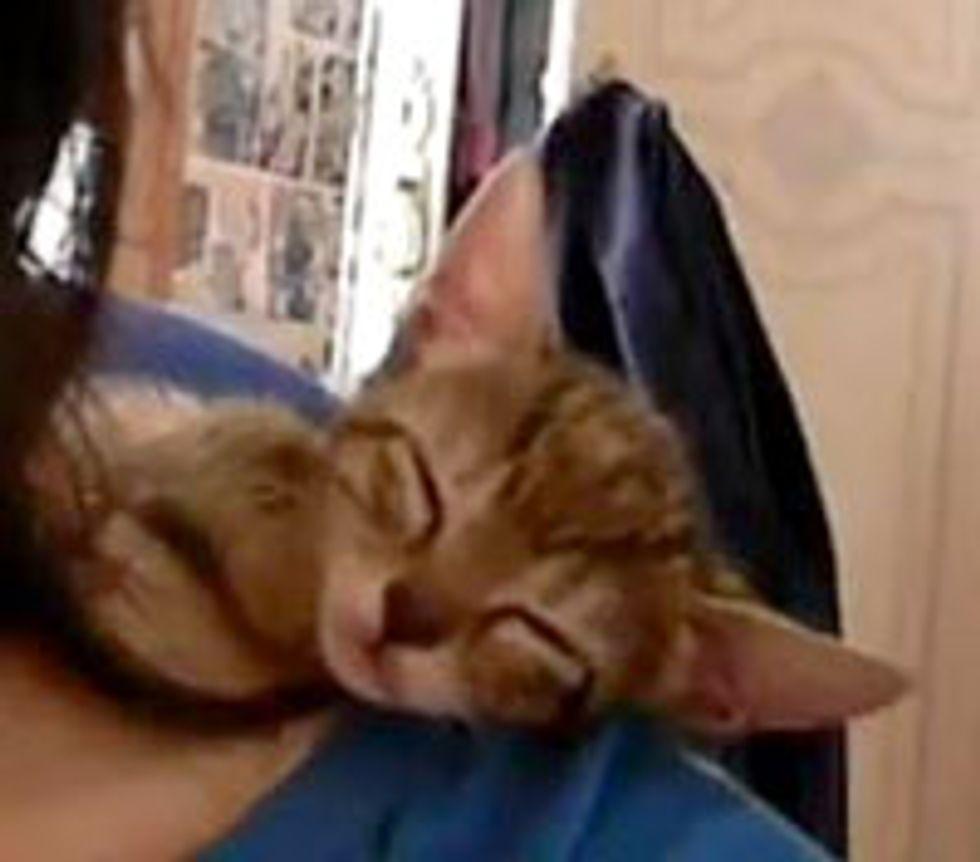 Kitten Takes a Shoulder Nap