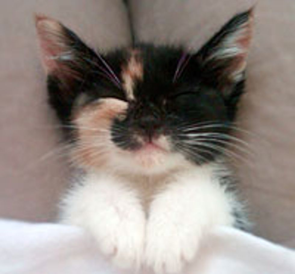 Little Calico Dreamer Lala