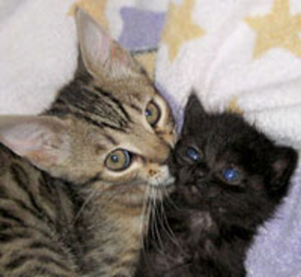 Little Bengal Foster Bonded with an Orphan Kitten