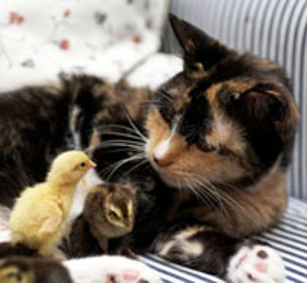 Cat Becomes Mom to Newly Hatched Chicks