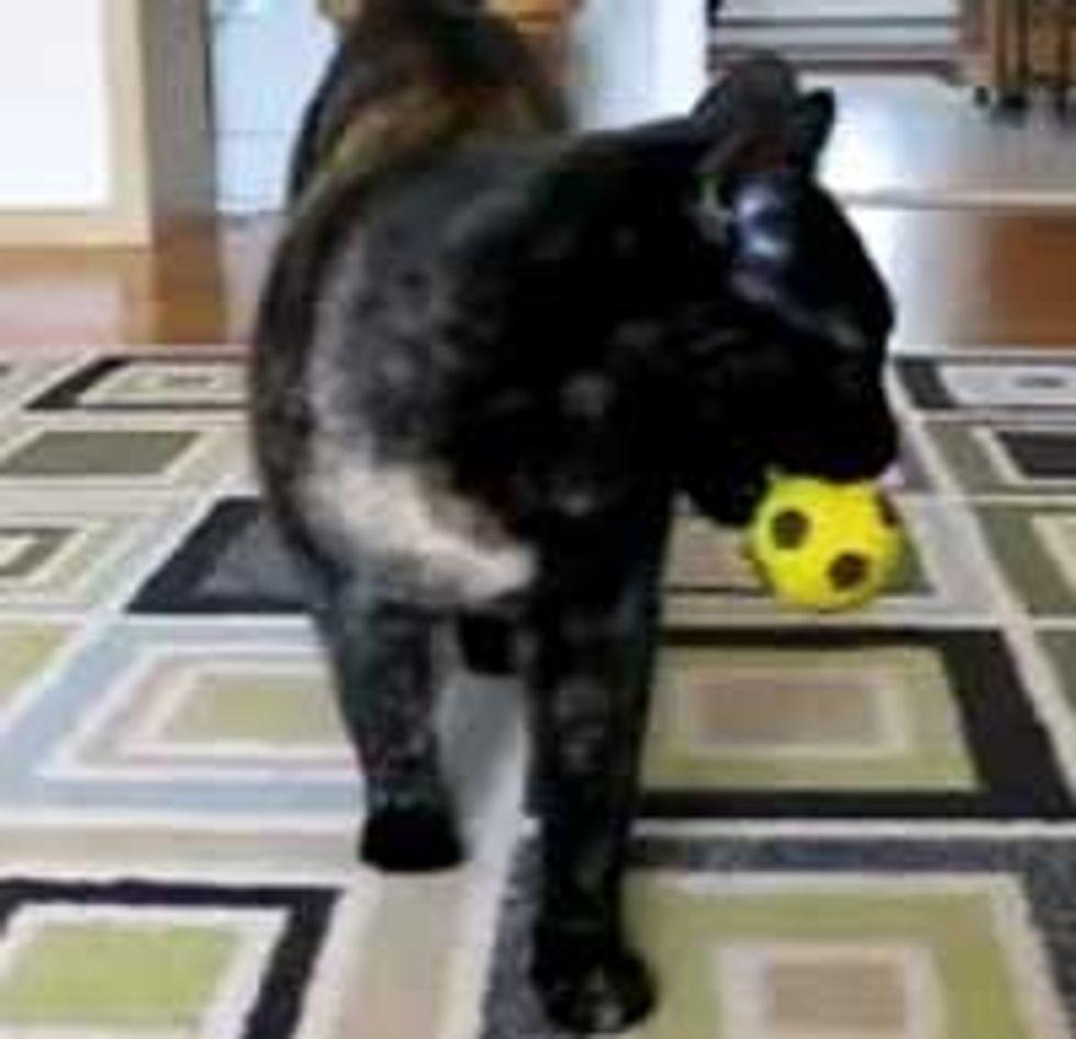 Tortie Kitty Plays Fetch