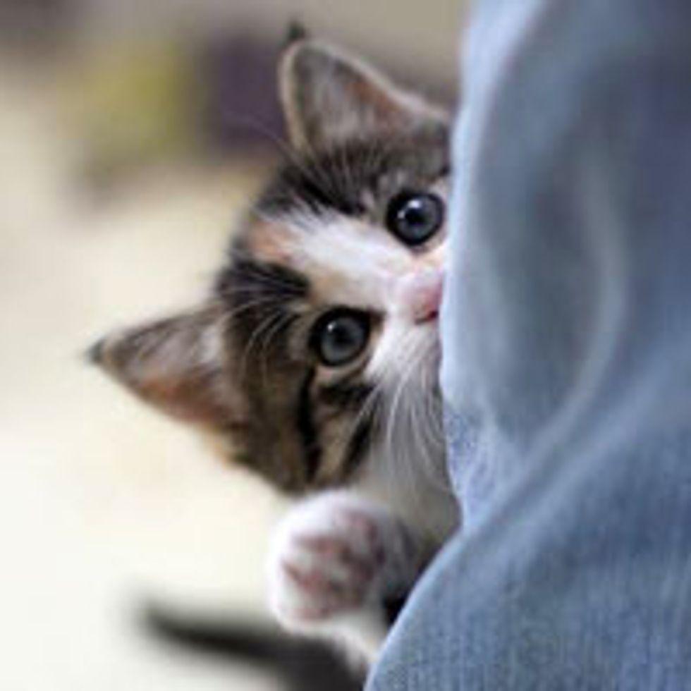 Calico Kitten Demands Attention