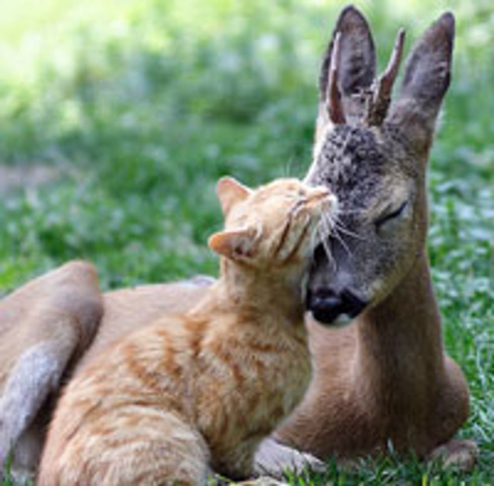 Ginger Cat and Baby Deer Become Best Friends