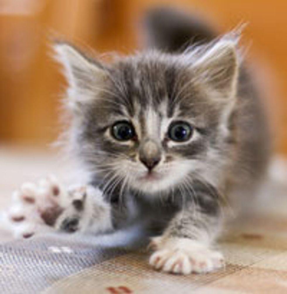 Cute and Fierce Fuzzy Kitty