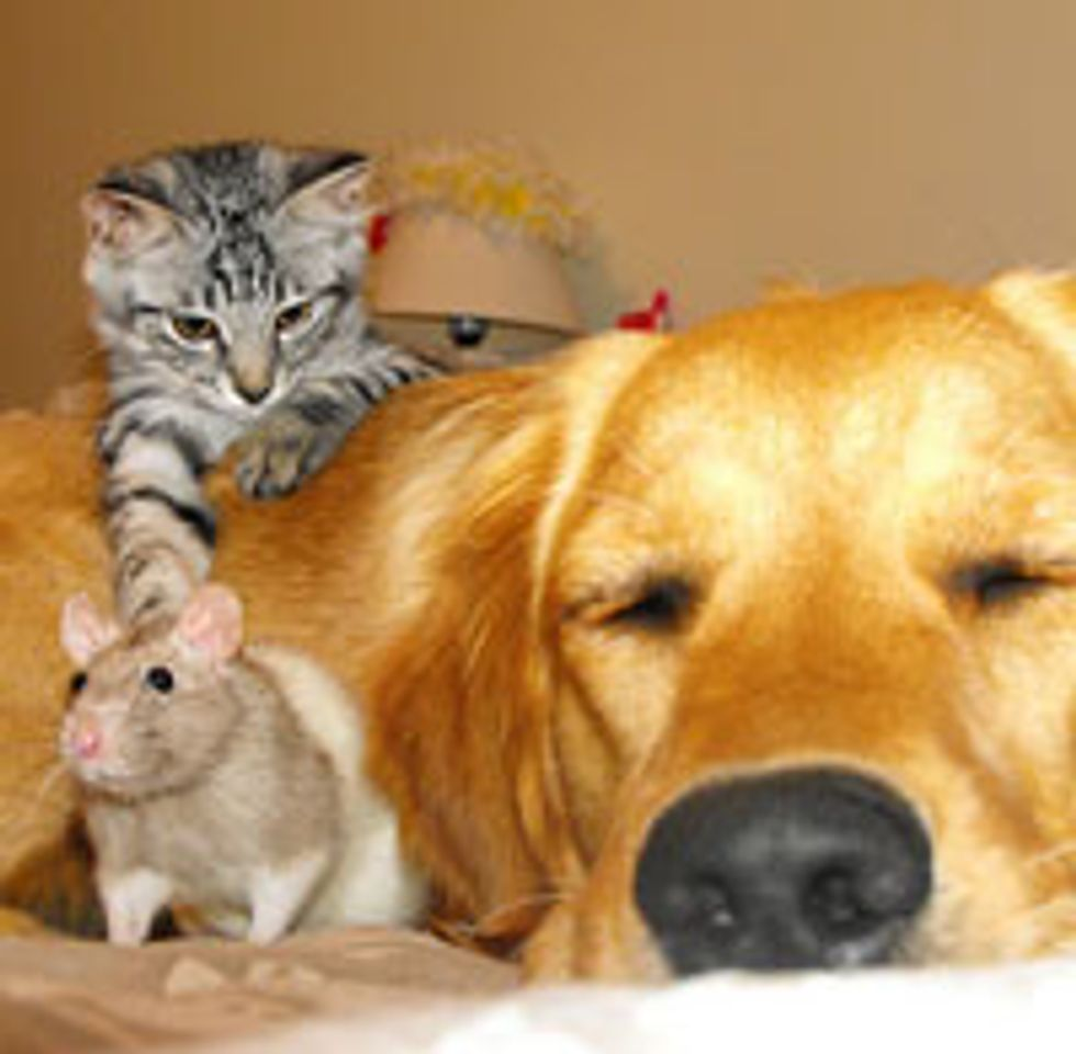 Unlikely Friendship - Cat, Rat and Dog