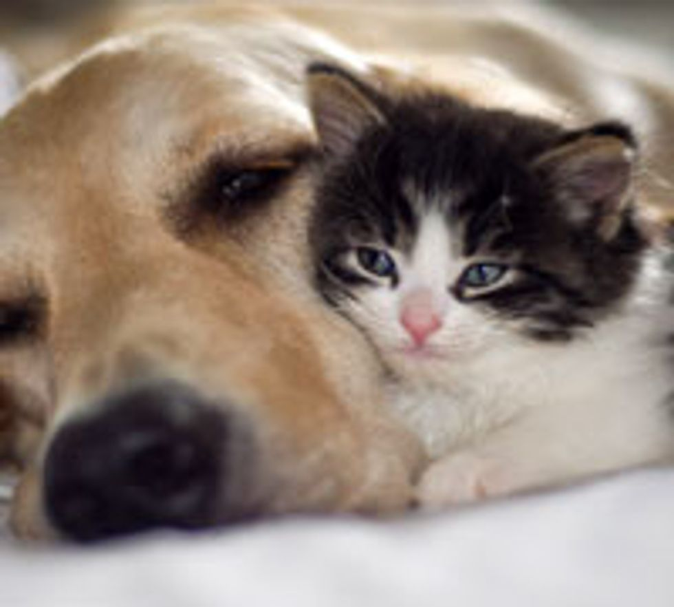 Alexis the Kitty Adopted by Golden Retrievers