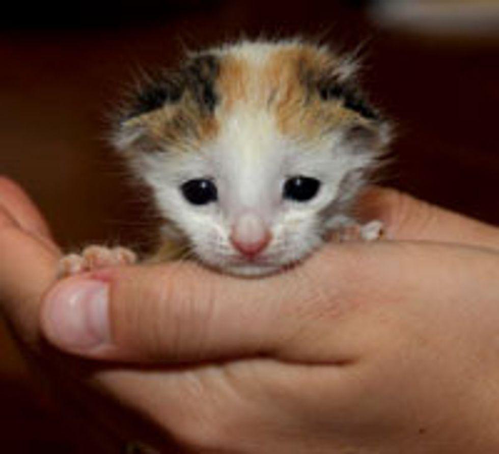 Tiny Calico Found in a Bush