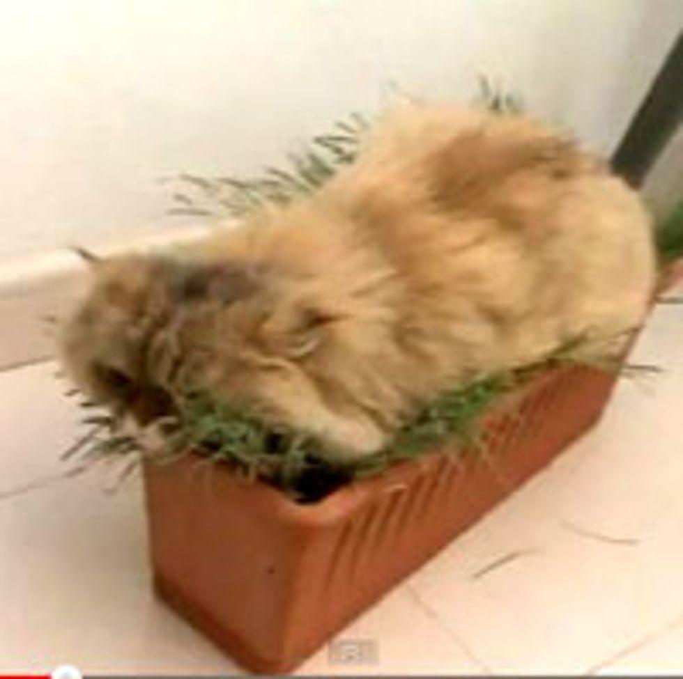 The Grass Cat