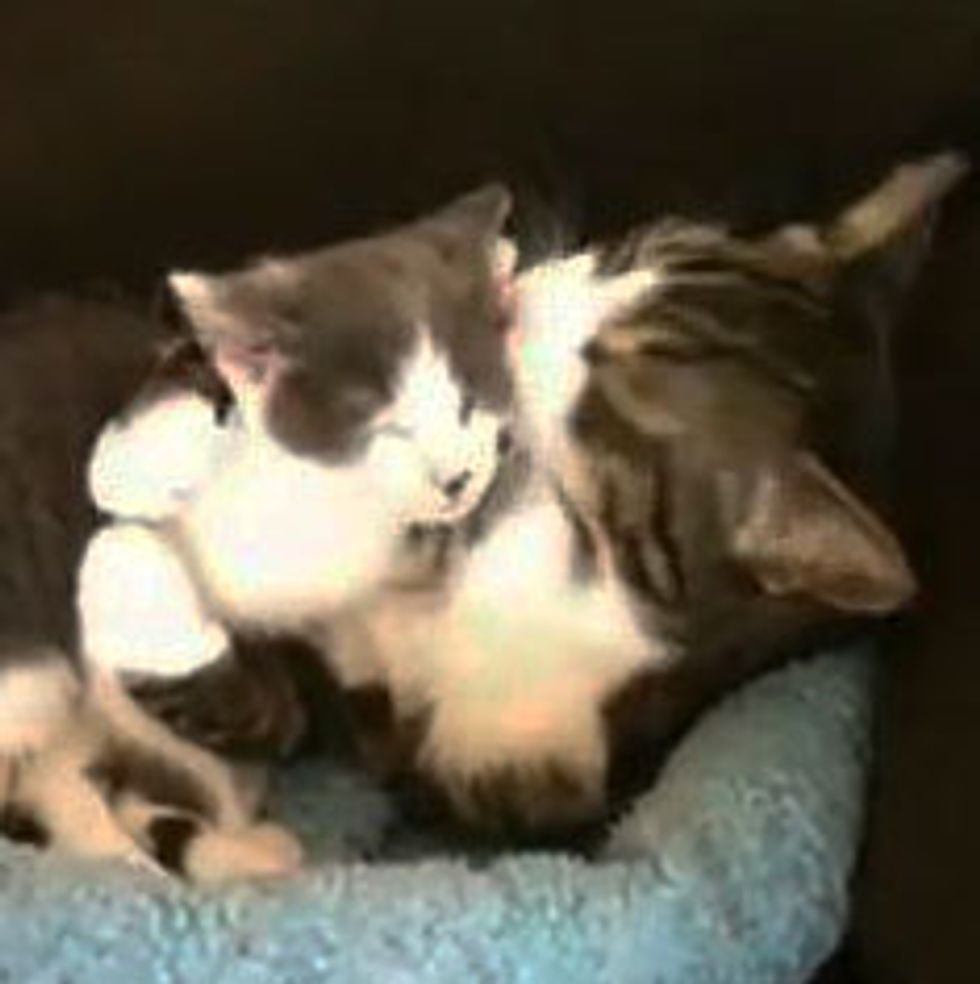 Kitty Hugging and Cleaning Foster Kitten