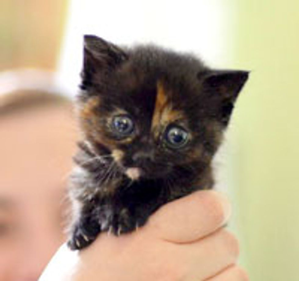 Tiny Bitty Tortie with Irresistible Big Blues