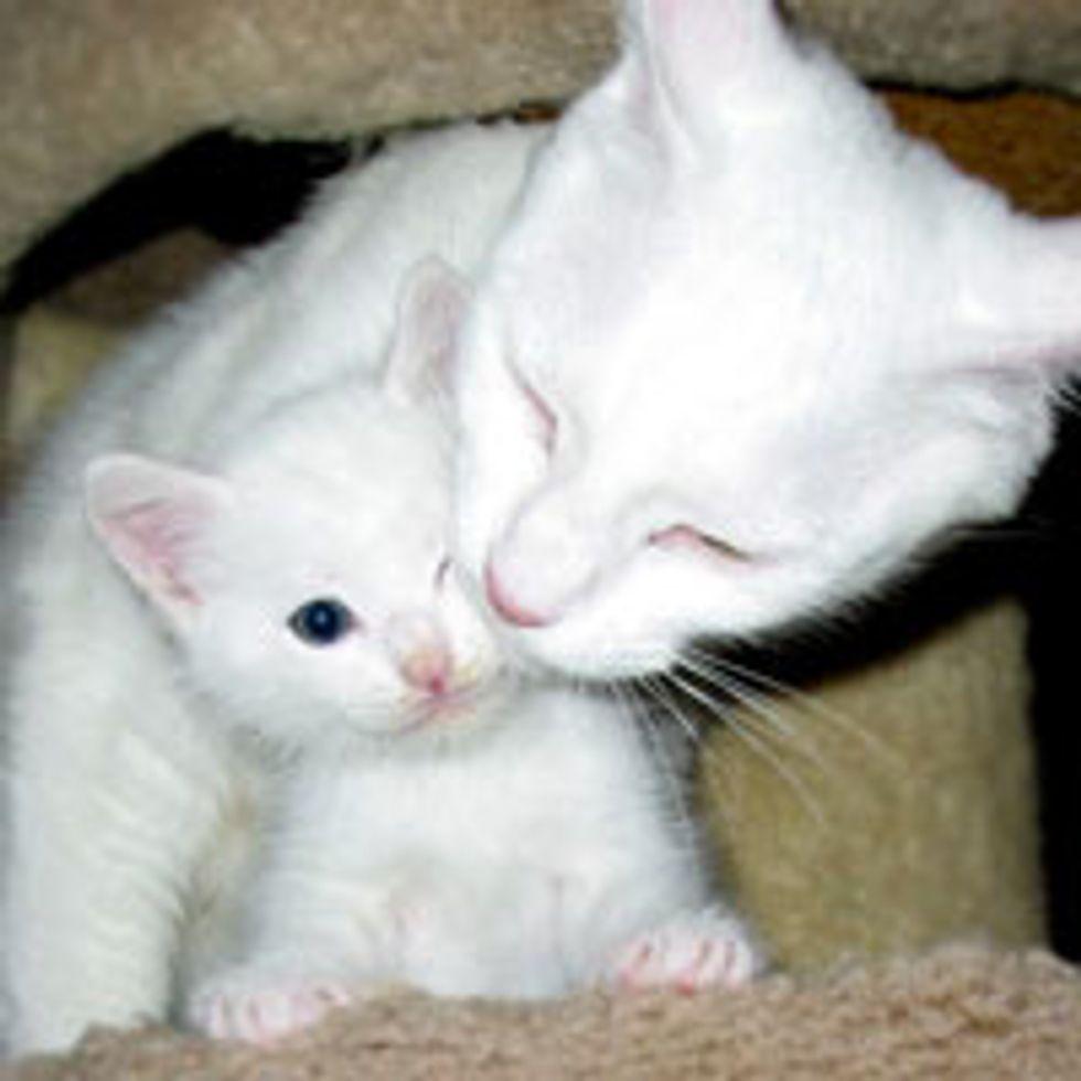 Betsy the Loving Snow White Cat Mama