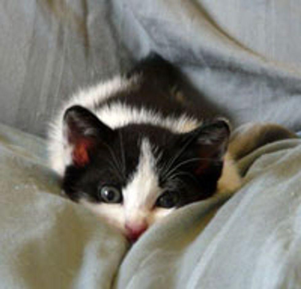 Little Tux Kitten Hiding from Big Kitty