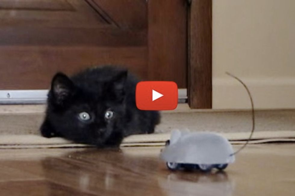 Kitten Plays With Remote Control Mouse