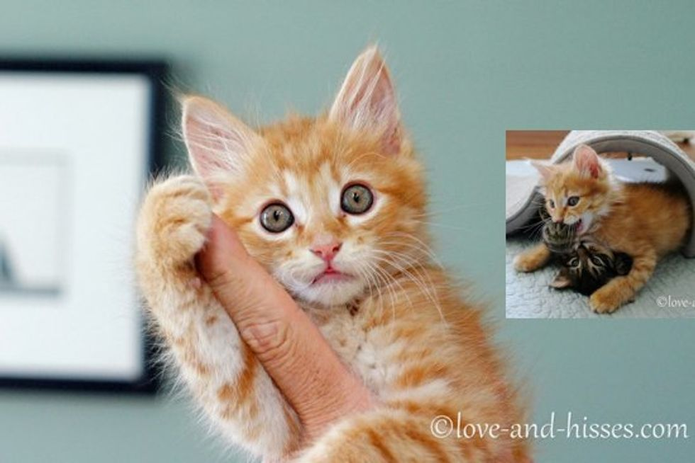 Rescue Ginger Kitten Adopted By Litter Of Kitties