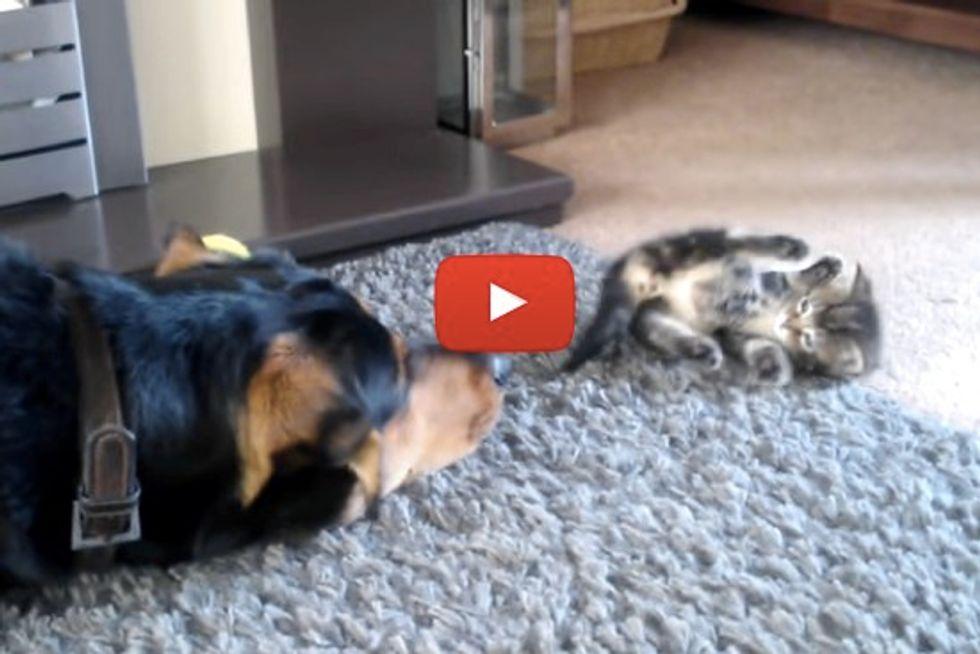 Tiny Kitten And Big Dog Meet