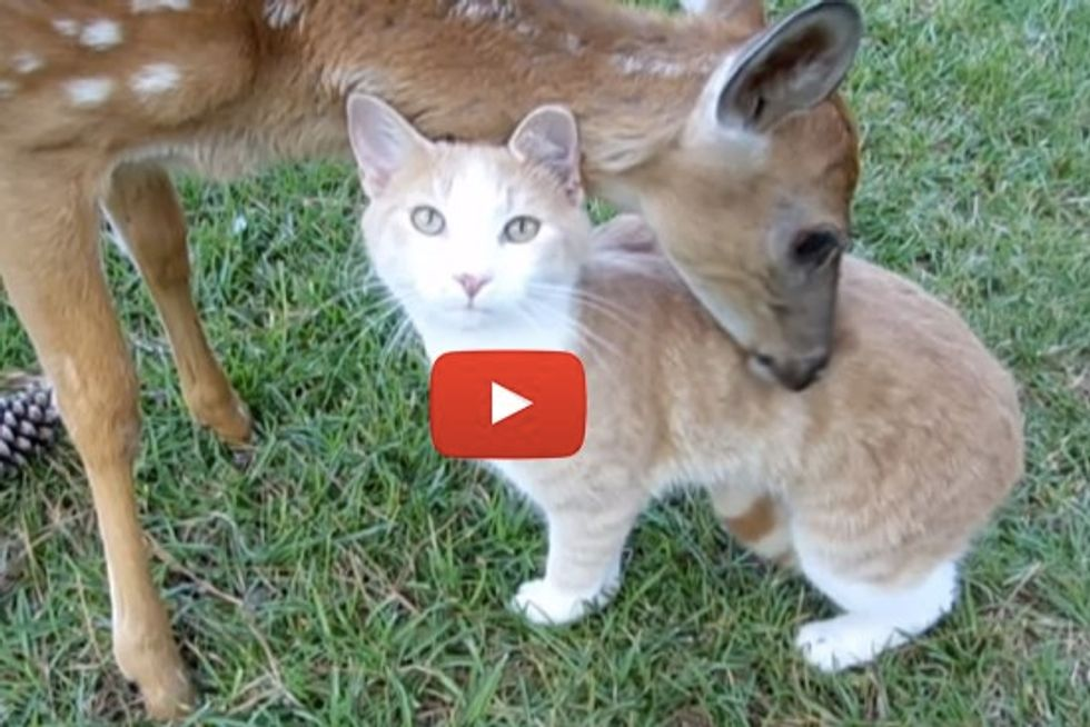 Cat And Baby Deer Adopt Each Other