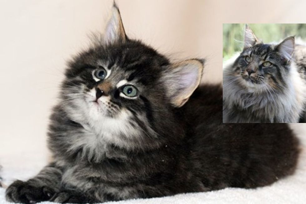 From Tiny Kitten To Majestic Norwegian Forest Cat