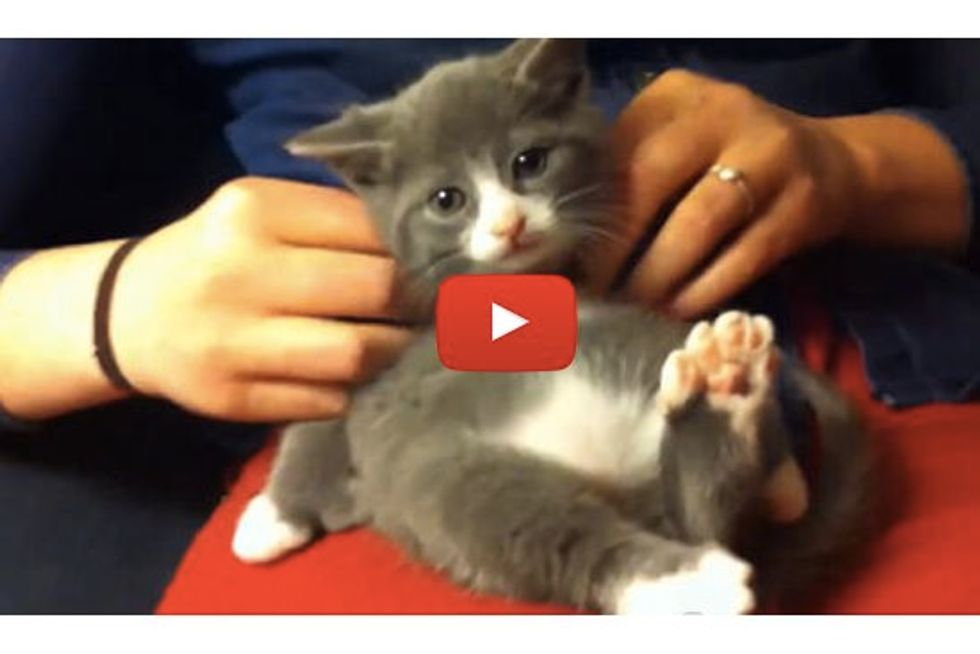 Kitten With Many Toesies Gets A Massage