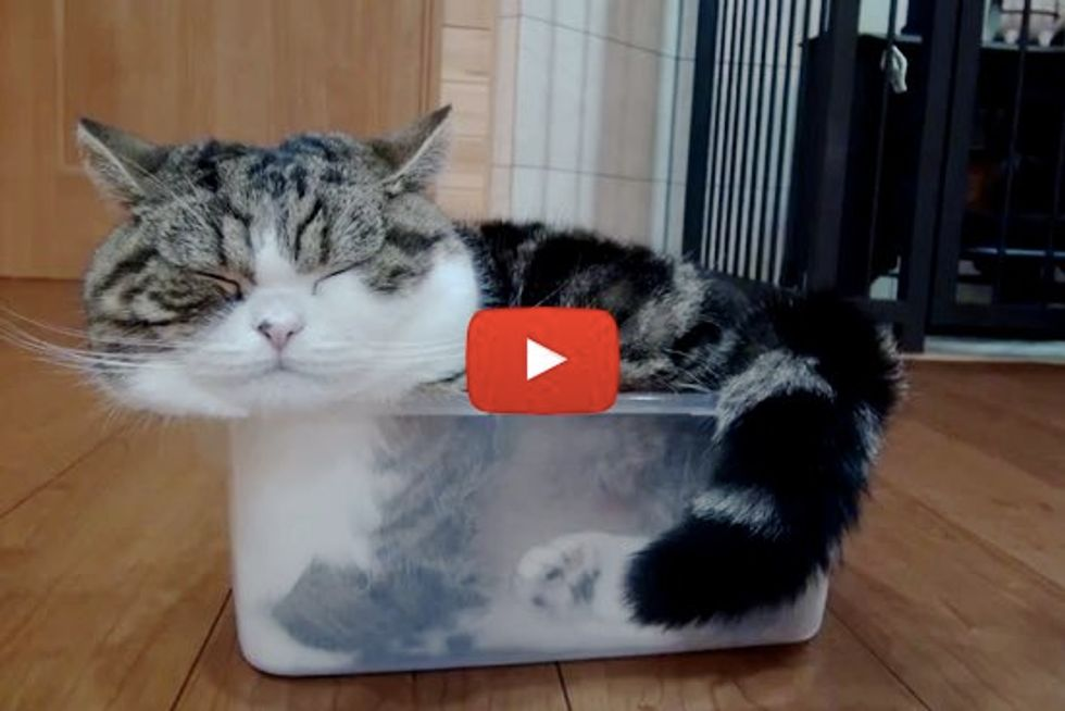 Maru Stuffs Himself Into A Container For A Nap