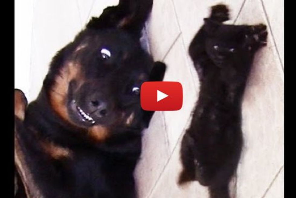 Cute Kitten Shaolin Wants To Play With Dog
