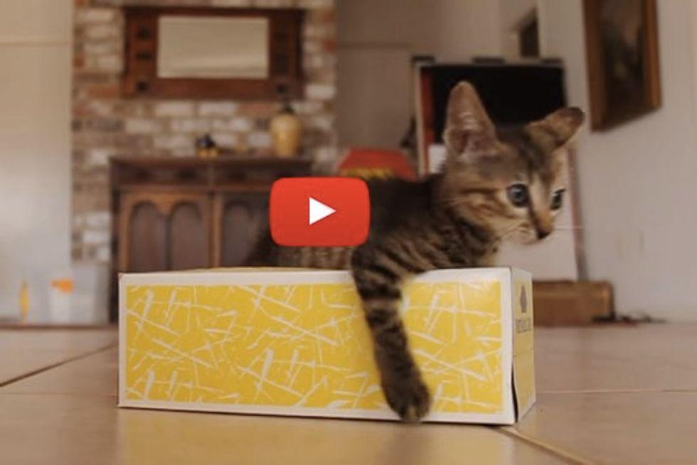 Kitten Discovers Tissue Box!