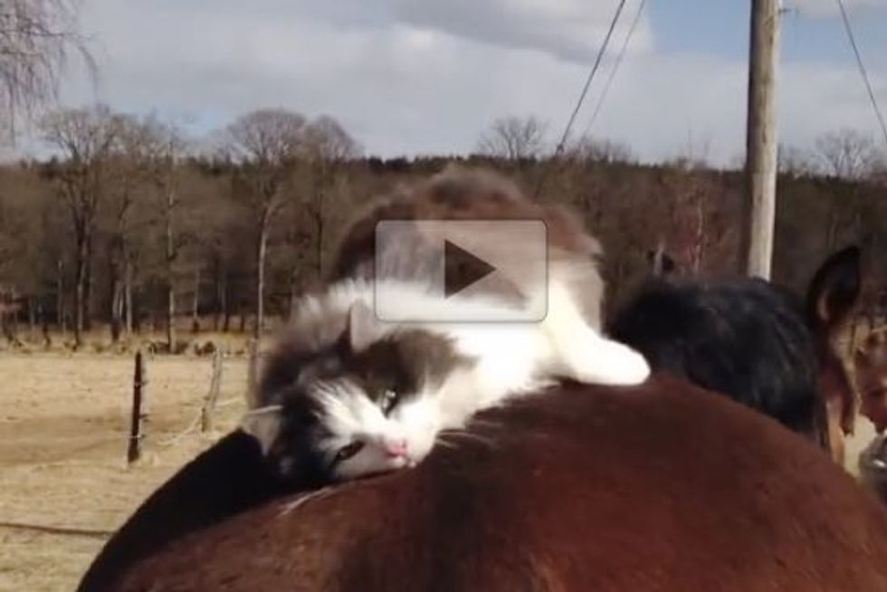 Cat Really Loves His Horse