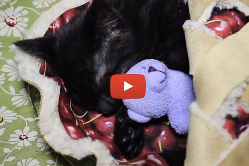 Kitten Sleeps in a Cherry Pie Bed With Her Teddy Bear