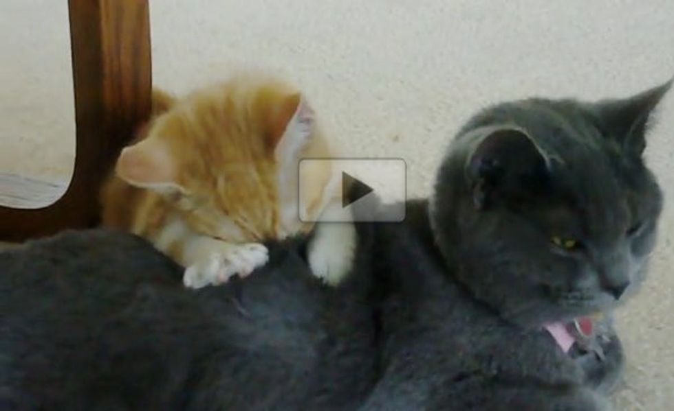 Kitten Kneading and Making Biscuits on a Bigger Kitty