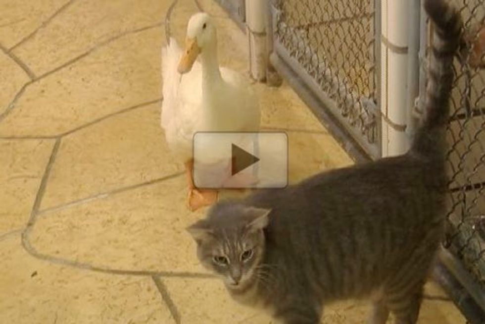 Cat And Duck Adopt Each Other