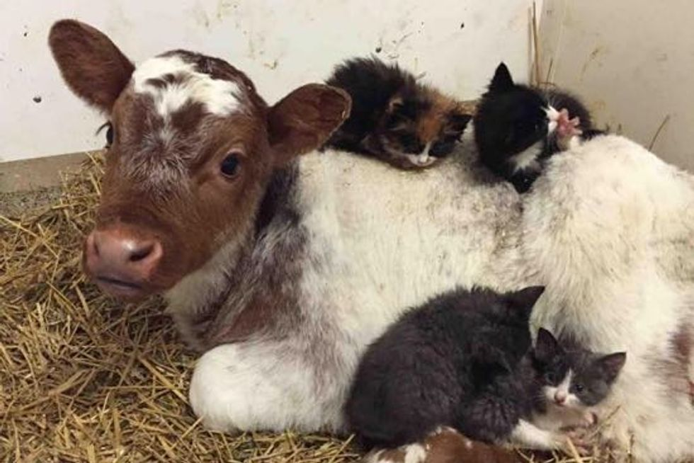 Farm Kittens Find A Little Calf To Be Their 'Mom'