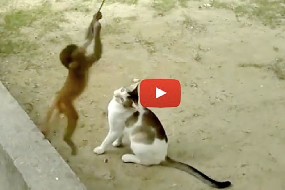Cat And Monkey Playing Together