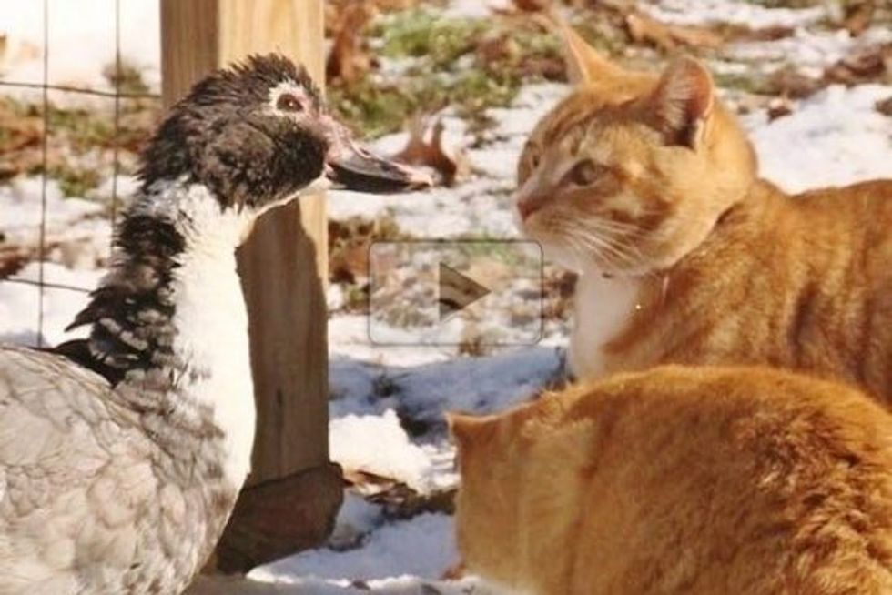Two Cats Bond With A Duck