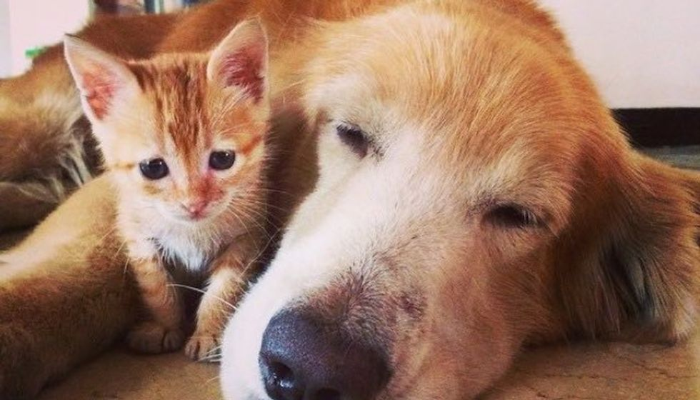 Rescue Ginger Kitten Adopted By Golden Retriever
