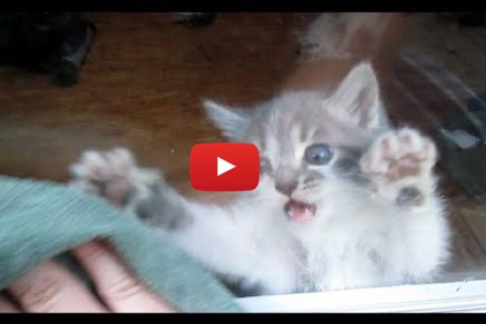 Kitten 'Helps' Cleaning Windows