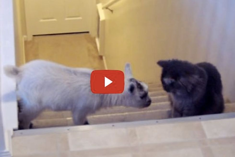 Cat Playing With Baby Goat