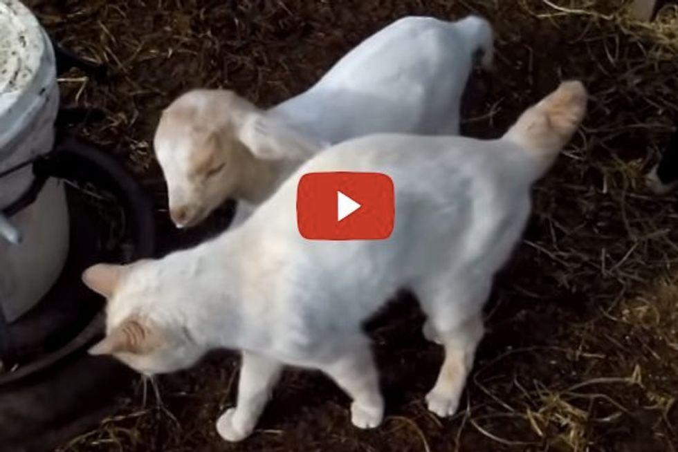 Cat Loving Baby Goats