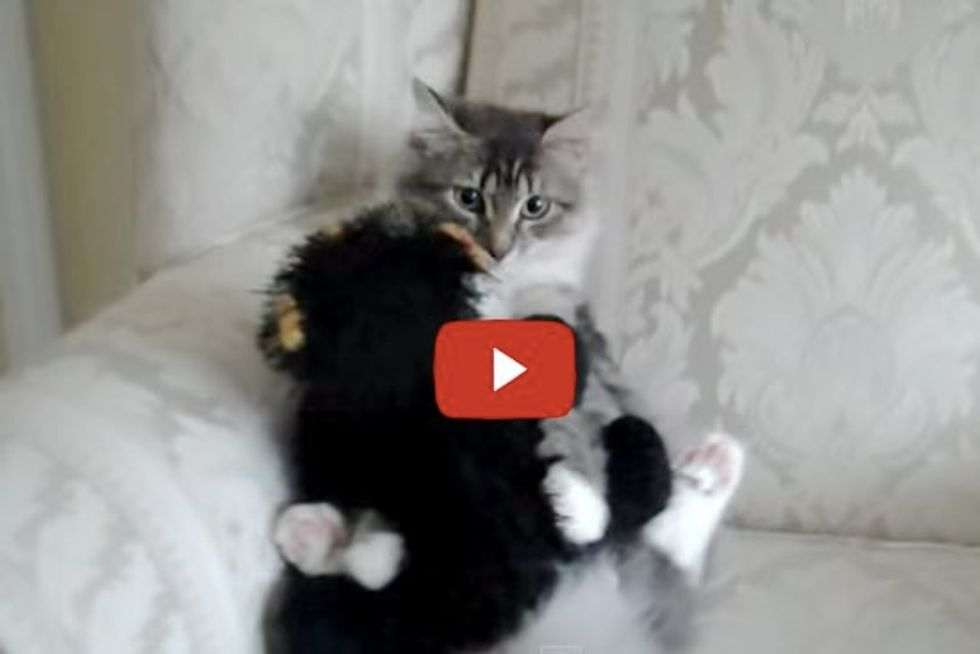 Siberian Cat Hugs and Cleans her Favorite Friend, a Teddy Bear...