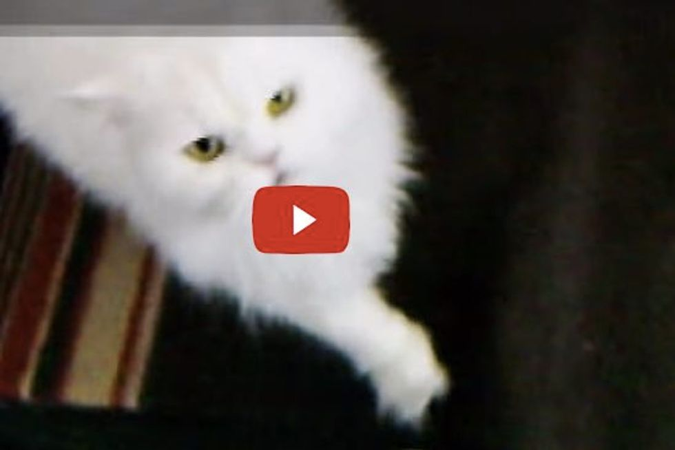 Bela, a Persian Cat: Her Demands for Petting