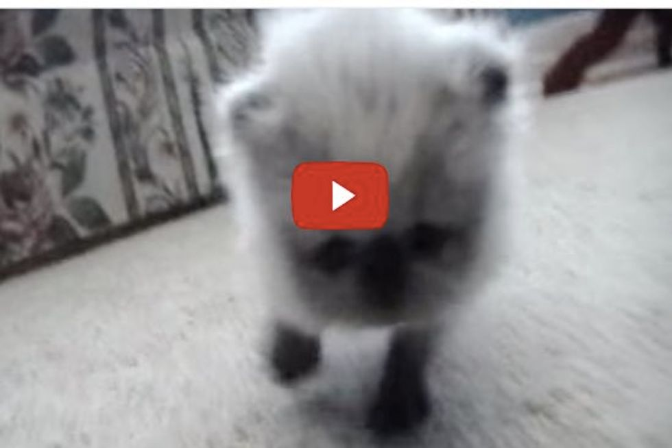 Tiny Himalayan Kitten Practices Walking, Rolling and Meowing