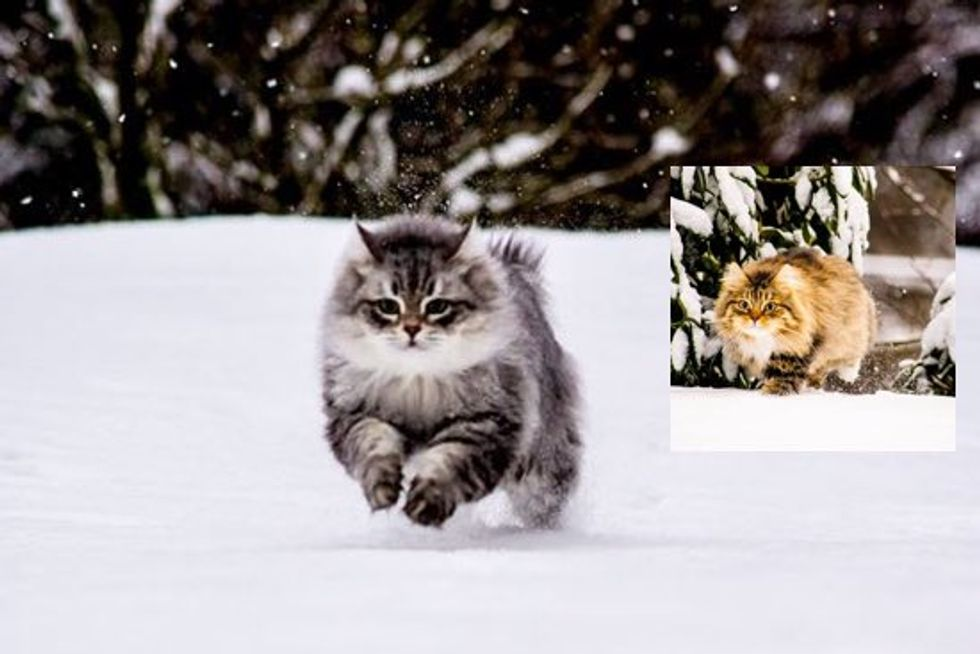 Siberian Forest Cats Rescued by A Couple, Now Play With Snow for the First Time