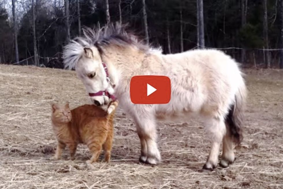 Ginger Cat Wants Petting from Miniature Horse