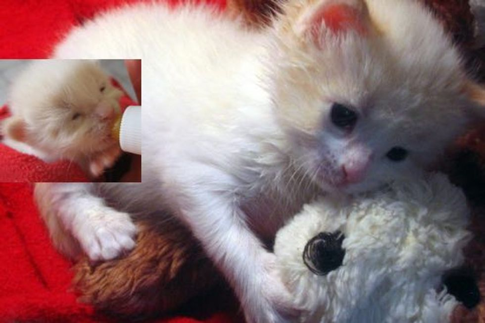 Bumble the Tiny Orphaned Kitten Found at 2 Days Old, Growing Up