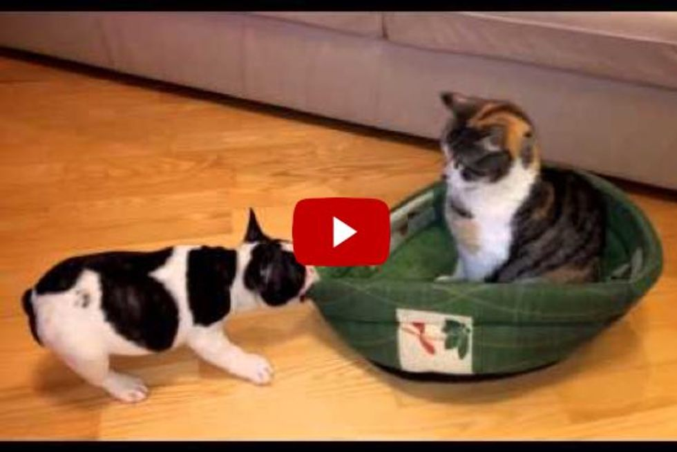 Cat Has Things Under Control When Puppy Attempts to Reclaim His Bed