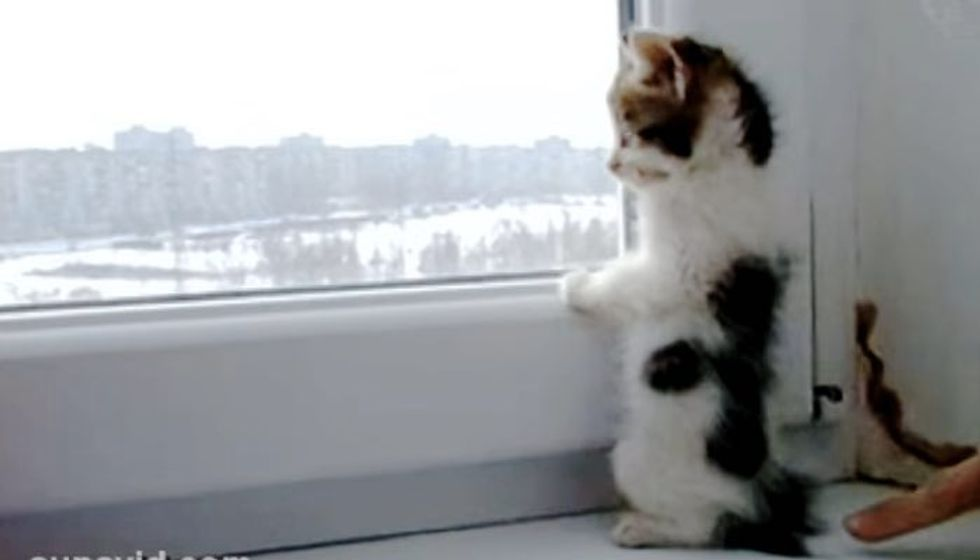 Curious Kitten Looking out the Window