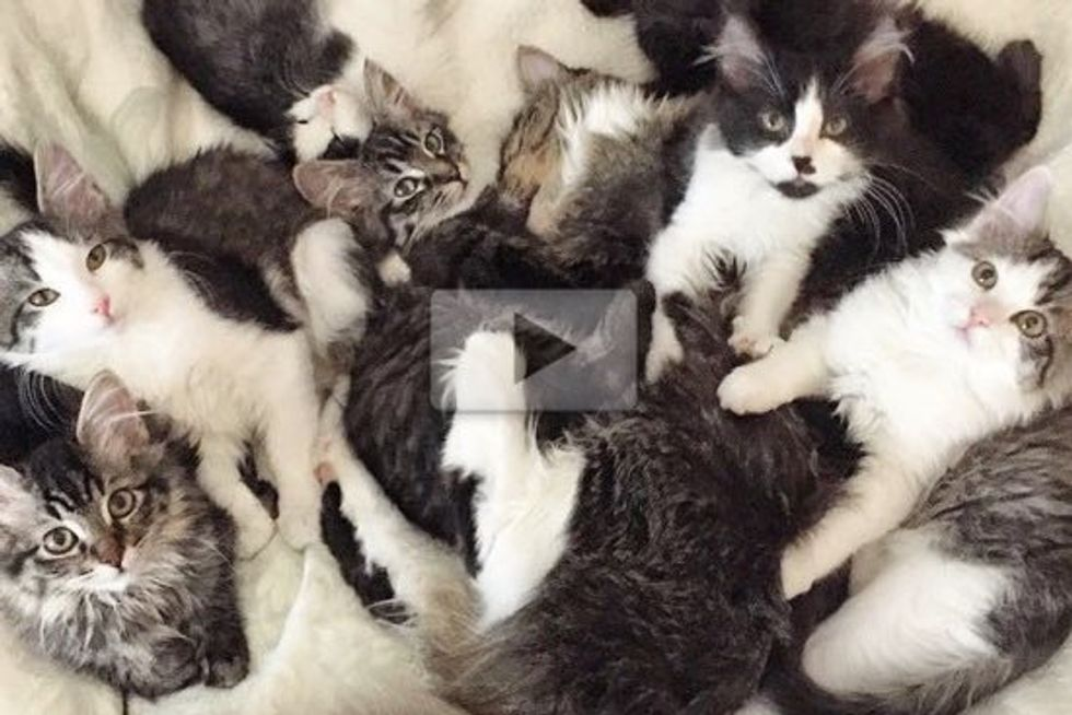 Meet the Bunny Cats - Seven Manx Kittens Find a Foster Home