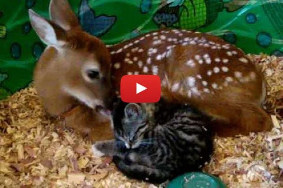 Little Kitten Loves Baby Deer