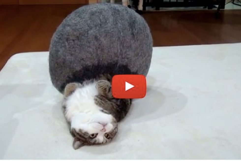 Maru Defends His Gray Bed from Hana. This Time He's Victorious!