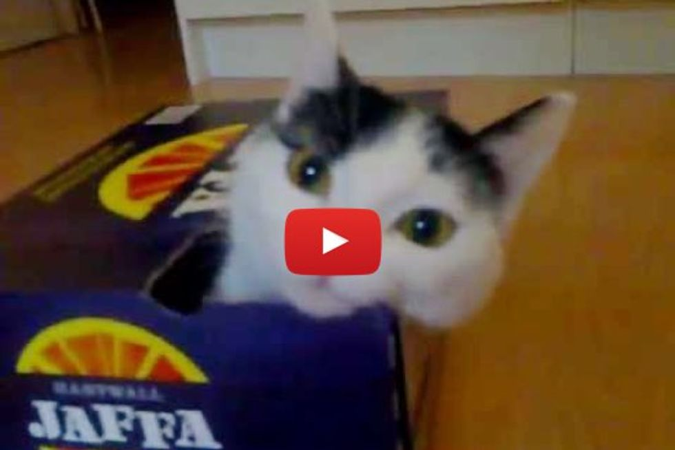 Determined Kitty Tries to Fit Himself into Box