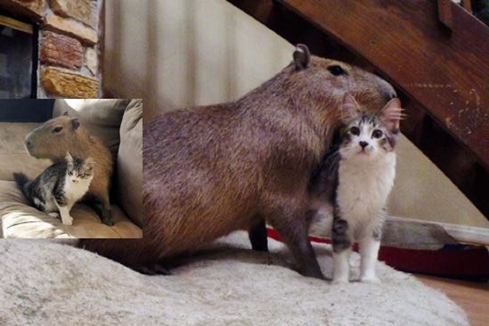 Scooter the Cat and Joejoe the Capybara Find Each Other and Become Best Friends!